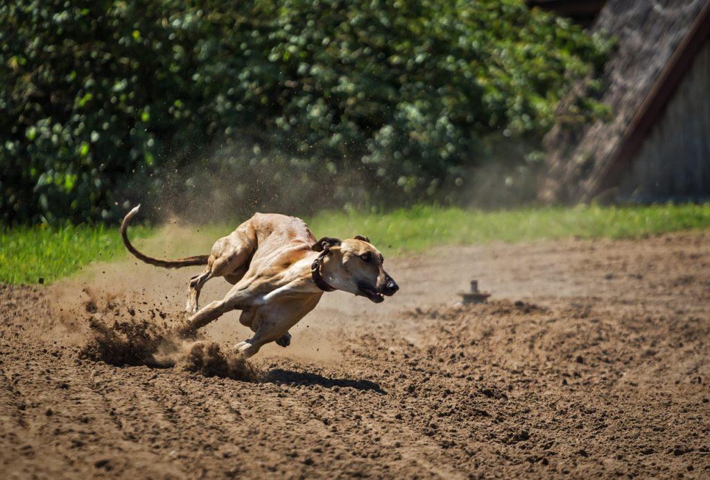 dog, greyhound, magyar agar