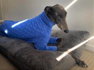 greyhound fun facts, greyhounds