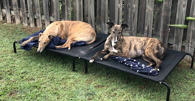 fun facts greyhounds, tigga n lottie, greyhounds