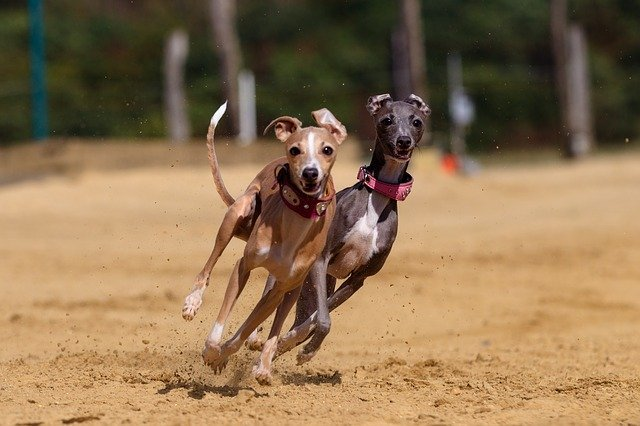 greyhounds running, whippets,