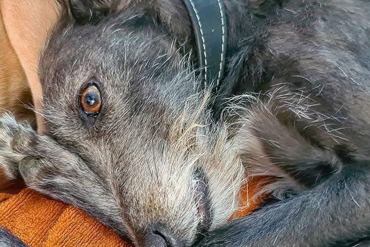 berry wolfhound