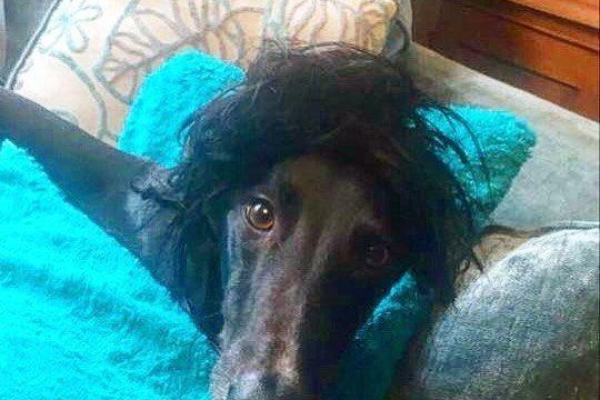 greyhound in wig