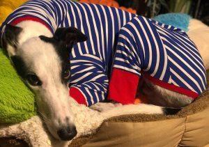 greyhound in coat