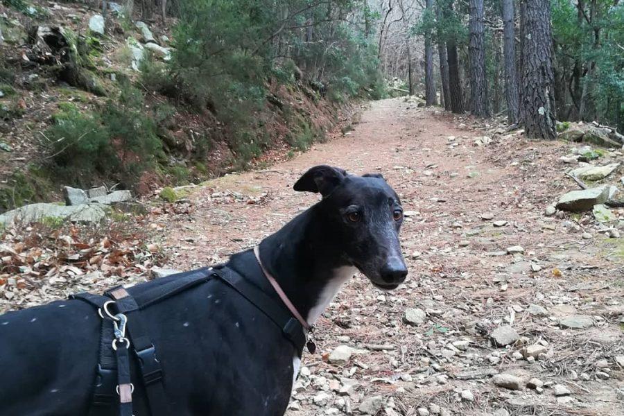 walking greyhound