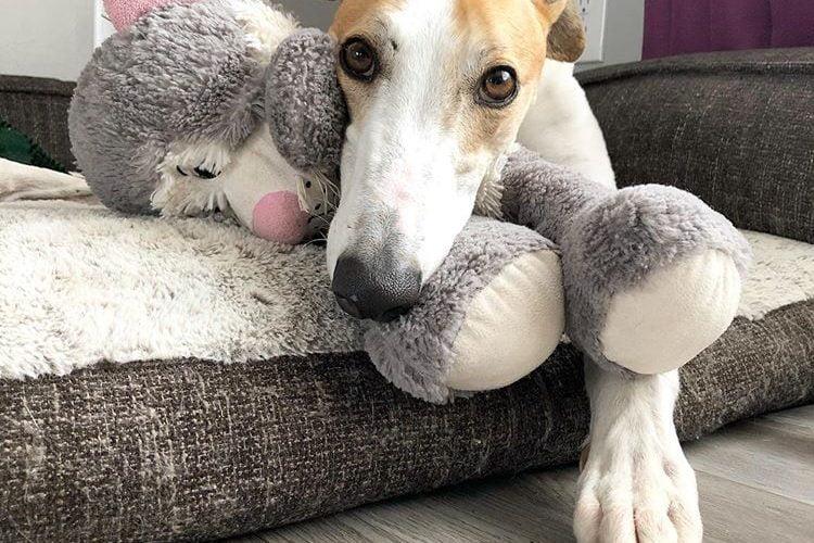 Hera greyhound