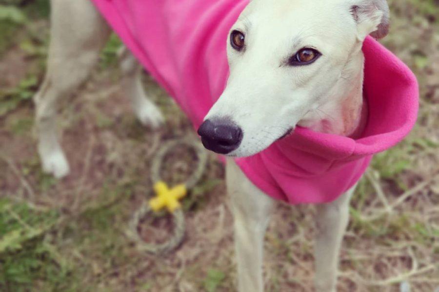 Lola greyhound in pink coat