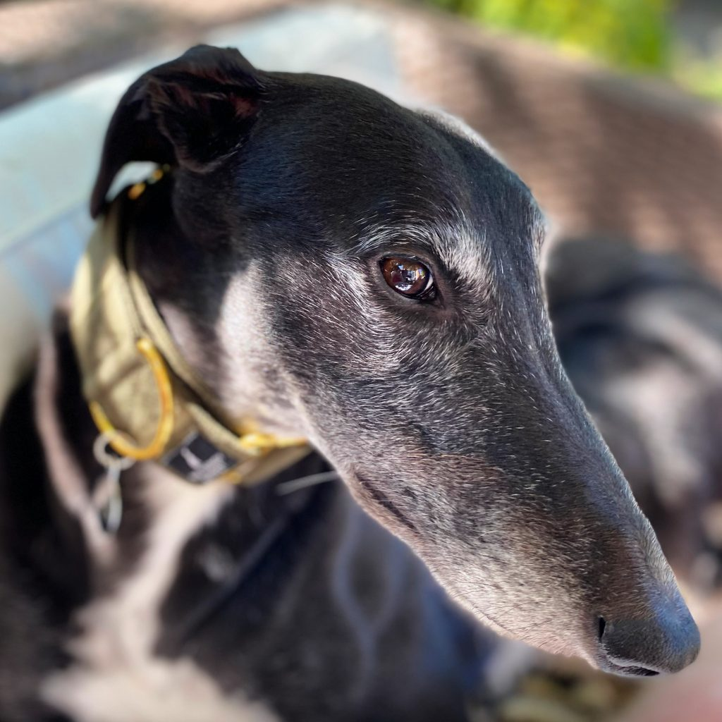 Greyhound Adoption (Things You'll Need & What To Consider Beforehand.)