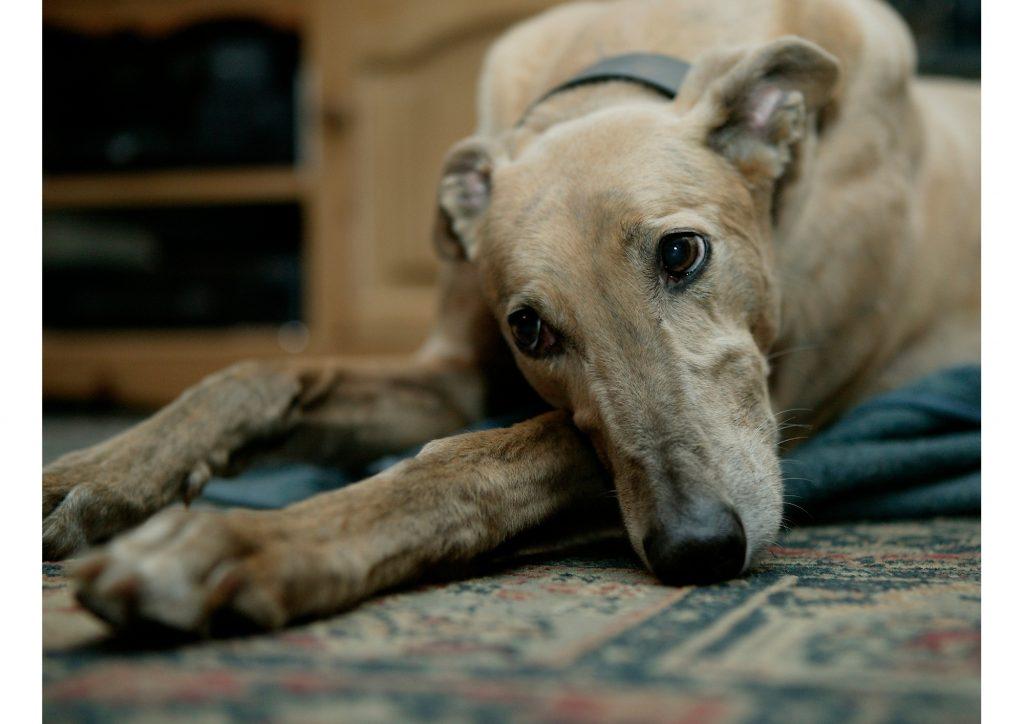 greyhound stare