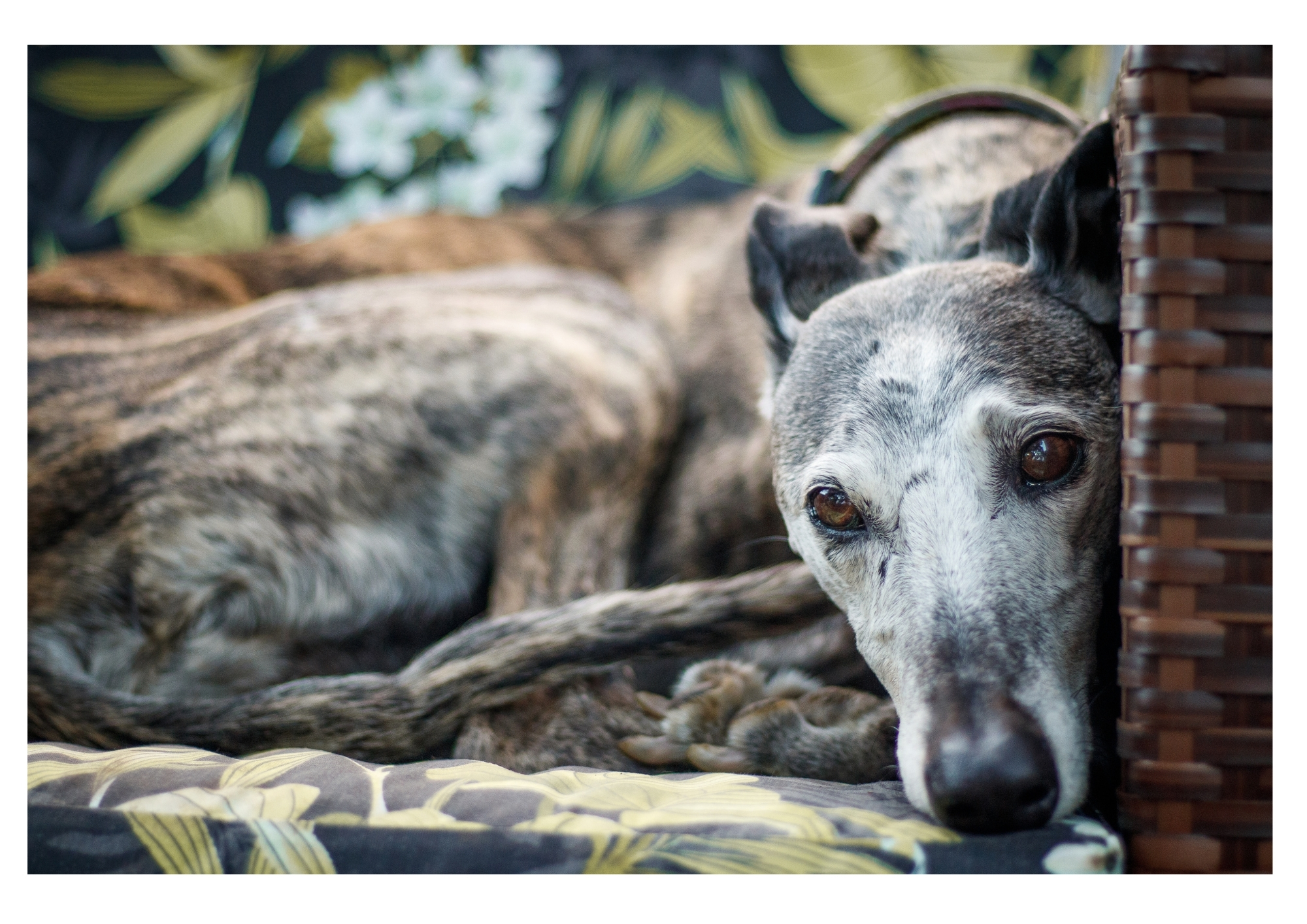 Why Does My Greyhound Stare At Me? (The Most Common Reasons)